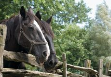 Close-up Of two Horses. Close up Of two Horse heads. Two horses together Stock Photos