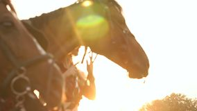 Close-up of two horses eating apples at sunset. Close-up of two horses eating apples at sunset in the field. The children feed the horses with bread and apples stock video