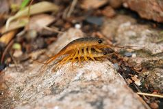 Close up of two insects. By the east sea of China. They live among the rocks Stock Image