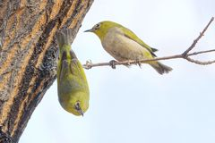 Japanese White-eye. The close-up of two Japanese White-eye stand on branch. Scientific name: Zosterops japonicus royalty free stock photos