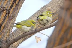 Japanese White-eye. The close-up of two Japanese White-eye stand on branch. Scientific name: Zosterops japonicus royalty free stock photo