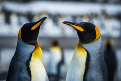 Close-up of two king penguins in colony Royalty Free Stock Images
