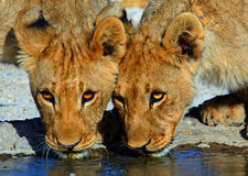 Close up of two lion cub heads drinking Stock Images