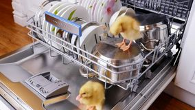 Close-up, two Little yellow ducklings sitting, walking in a dishwasher, sitting on plates, a pan, in a basket. In the. Close-up, two Little yellow ducklings stock video footage
