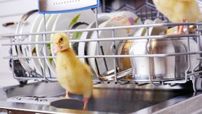 Close-up, two Little yellow ducklings sitting, walking in a dishwasher, sitting on plates, a saucepan, in a basket. In. The background a lot of white, clean stock footage