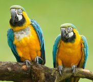 Close-up of two macaw parrots Stock Images