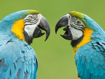 Close-up of two macaw parrots Royalty Free Stock Photography
