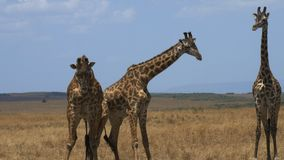 Close up of two male giraffe headbutting to establish dominance as a third watches on in masai mara game reserve. Kenya stock video footage