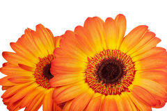 Close-up two orange gerbera Royalty Free Stock Image