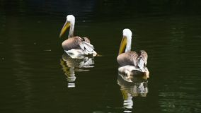 Close up two pelicans swim in lake water. Close up couple of two pelicans swim in lake water with reflection, high angle view stock video
