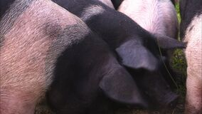 Close up of two pigs faces as they eat. Close up shot of two black faced pigs eating off the ground stock footage