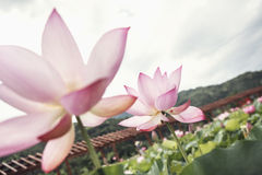 Close-up of two pink lotus flowers on a lake, China Stock Image