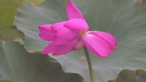 Lotus flower in rains