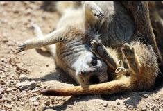 Close up of two playful Meerkats Royalty Free Stock Images