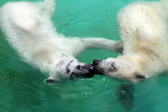 Close up, Two Polar bear swimming in blue water Royalty Free Stock Photo