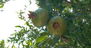 Close-up of two pomegranates hanging on branch. In sunlight stock footage