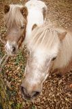 Close-up of two ponies, shetland pony heads together looking up, angle from above. Two ponies, close-up, shetland pony heads with white tidy long cammed mane royalty free stock photos