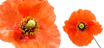 Close up of two poppies isolated on white background Stock Image