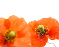 Close up of two poppies isolated on white-shallow DOF Royalty Free Stock Image