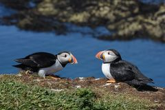 Close up of two puffins resting on Isle of Lunga Hebrides Royalty Free Stock Images