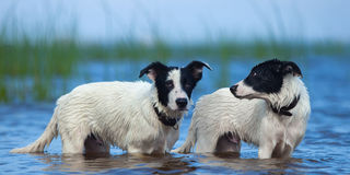 Close up two puppies of mongrel standing in water. Stock Photo
