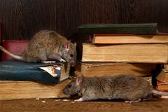 Free Close-up Two Rat Rattus Norvegicus Climbs On Old Books On The Flooring In The Library. Stock Images - 140207764