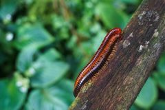 Close up of two 2 red millipedes mating hugging on log with green bouquet back stock photos