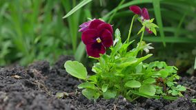 Close up of two red pansy flowers. Nature stock footage