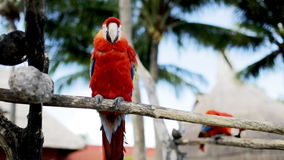 Close up of two red parrots sitting on perch. Nature and wild birds concept - close up of two red parrots sitting on perch stock footage