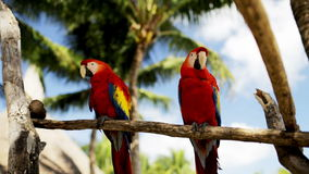 Close up of two red parrots sitting on perch. Nature and wild birds concept - close up of two red parrots sitting on perch stock video footage
