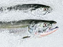 Close-up of two Salmon fish displayed on ice in Canada stock image