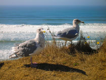 Sea Gulls on cliff overlooking surf. Two gulls taking an afternoon rest in dried grasses of cliff overlooking the coast as the incoming tide covers the beach Stock Image