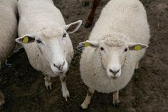 Close-up of two sheep Stock Photo