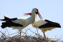 Close up of two storks in a nest on a tree with crossed necks. Netherlands royalty free stock photography