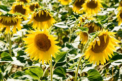 Close up of two sunflowers. Close up of sunflowers in a field in Tuscany stock photography