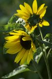 Close up of two sunflowers royalty free stock images