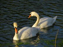 Close up of two swans in the river