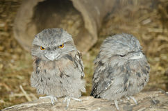 Tawny frogmouth. This is a close up of two tawny frogmouths sitting on a log stock image