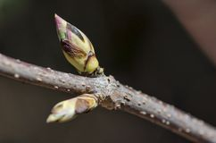 Close-up of two tree buds Stock Image