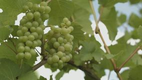 Two Grapevines At A Grapevine Field In Summer. Close Up Of Two Unripe Grapevines At A Grapevine Field On A Sunny Summer Day stock footage