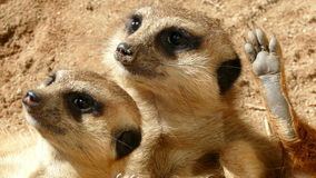 Close-up of two of vigilant meerkat. stock video