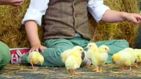 Close-up. Two village, stylishly dressed boys play with ducklings and chickens, in the background a haystack. Close-up. Two village, stylishly dressed boys play stock video footage