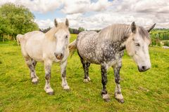 French percherons horses, Perche province, France Stock Photo