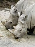 Close up of two white Rhino eating hay in the zoo with legs full of mud. In calm and tame mood Royalty Free Stock Photo