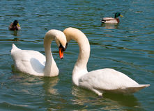 Close-up two white swans on lake Stock Images