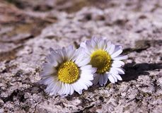 Two daisies in sunlight royalty free stock images