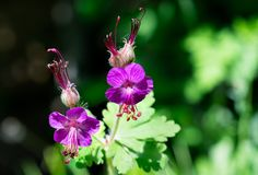 Close-up of two wild geraniums. Detail of two wild geraniums on spring green bokeh background Stock Image