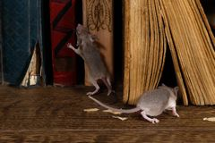 Close-up two young mice on  the old books on the floor in the library. royalty free stock image