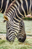 close up on two zebras Royalty Free Stock Photos