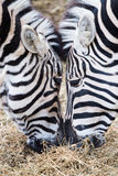 Close-up of two zebras eating grass Stock Photos
